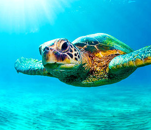 Sea Turtles of the Bahamas