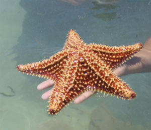 The Bahamas Starfish