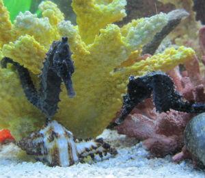 The Bahamas Seahorse